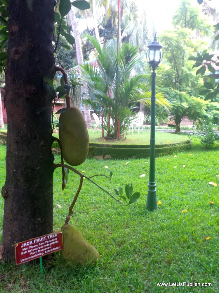 Jackfruit Tree, Kairali Kerala