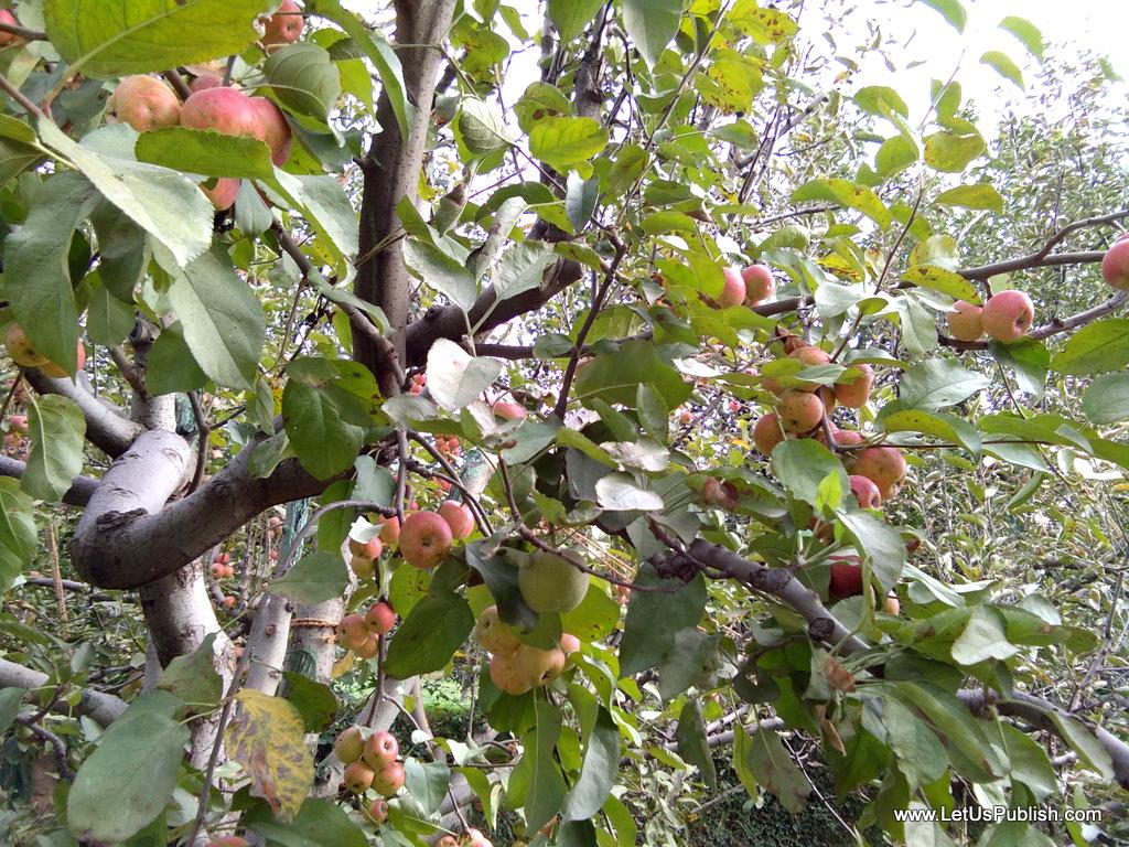 apple-trees-manali