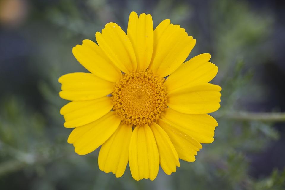 Yellow Sunflower Hd wallpaper