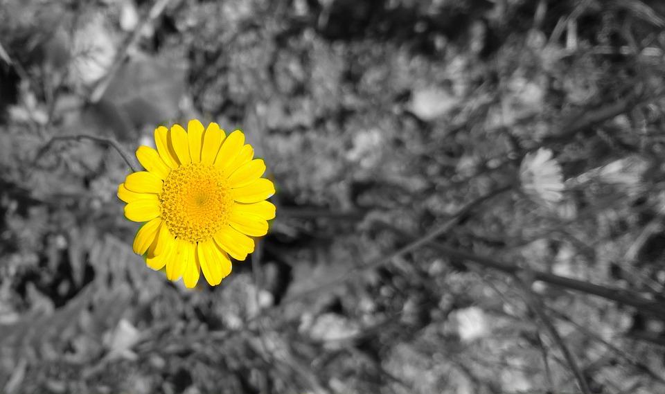 Yellow color Sunflower HD wallpaper for desktop